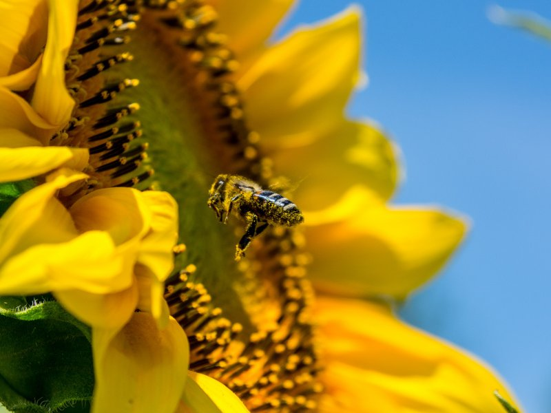 bee-sun-flower-yellow-busy-bee_copy_1.jpg